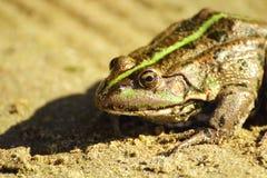 Patrzeje w oczy żaby Obrazy Royalty Free