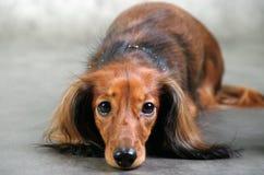 Patrzeje w psów oczy Obraz Royalty Free
