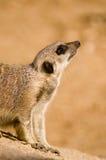 patrzy w górę meerkat Fotografia Royalty Free