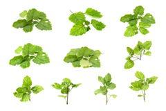 Patschulipflanzenöl verlässt neuen weißen Hintergrund lizenzfreie stockfotografie