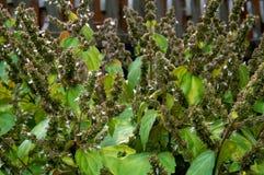 Patschulipflanzenbetriebsblumen Lizenzfreie Stockfotografie