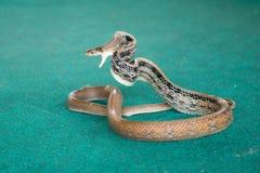 Pattaya, Ταϊλάνδη - τον Ιανουάριο του 2017: παρουσιάστε φίδια με το παιχνίδι με ένα φίδι κατά τη διάρκεια Στοκ Φωτογραφία