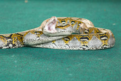 Pattaya, Ταϊλάνδη - τον Ιανουάριο του 2017: παρουσιάστε φίδια με το παιχνίδι με ένα φίδι κατά τη διάρκεια Στοκ Εικόνες