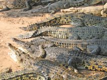 Pattaya. Crocodiles in park of ancient s Stock Photo