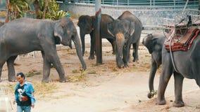 Pattaya, Tailândia - 30 de dezembro de 2017: Muitos elefantes indianos diferentes andam em torno de Valery na exploração agrícola vídeos de arquivo