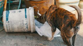 PATTAYA, TAILÂNDIA - 16 DE DEZEMBRO DE 2017: O cão desabrigado só está procurando o alimento em uma lata de lixo na lama dos paco video estoque