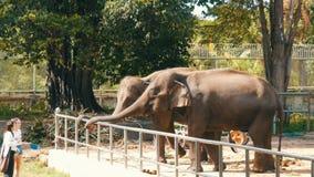 PATTAYA, TAILÂNDIA - 30 DE DEZEMBRO DE 2017: Os povos são alimentados das mãos de elefantes indianos video estoque