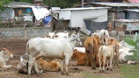 Pattaya, Tailandia - 30 de diciembre de 2017: Manada de las vacas tailandesas blancas con los oídos grandes que pastan en el past metrajes