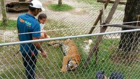 PATTAYA, TAILANDIA - 29 DE DICIEMBRE DE 2017: Tiger Zoo Paseo de los tigres detrás de una cerca Los turistas y los trabajadores d almacen de metraje de vídeo