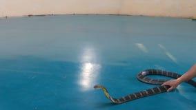 PATTAYA, TAILANDIA - 17 DE ENERO DE 2018: La serpiente más doméstica domestica las cobras reales, la cobra común y los pitones en metrajes