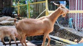 Pattaya, Tailandia - 14 maggio 2019: La gente con erba per alimentare e dare erba alle capre allo zoo video d archivio