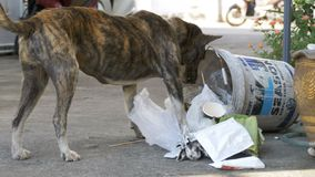 Homeless, Thin and Hungry Dog Rummages in a Garbage can on the Street. Asia, Thailand. PATTAYA, THAILAND, DECEMBER 16, 2017: Homeless, Thin and Hungry Dog stock video footage