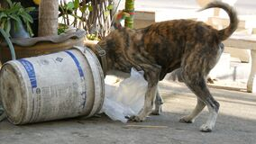 Pattaya, Thailand - December 16, 2017: Homeless tiger-colored dog is looking for food in a trash can on the street. The. Pattaya, Thailand - December 16, 2017: A stock video footage