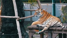 Tethered tiger in the park for taking photos with tourists. Pattaya, Thailand. Slow Motion stock video