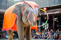 Pattaya, Thailand :  Elephant dance hula hoop show. Royalty Free Stock Photos