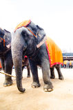 Pattaya, Thailand :  Elephant show. Royalty Free Stock Photography