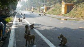PATTAYA, THAILAND - JANUARI 17, 2018: Een groot die aantal apen langs de weg voorbij de voorbijgaande auto's in werking wordt ges stock videobeelden