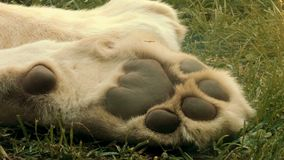 Patte blanche de lions clips vidéos