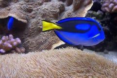 Patte bleue Photographie stock