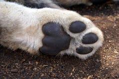 Patte d'animal de lion Images libres de droits