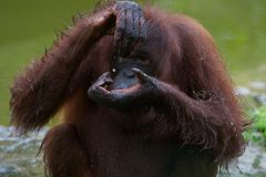 Patte d'Orang u Image stock