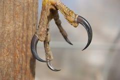 Patte d'un oiseau de proie avec les griffes noires photo stock