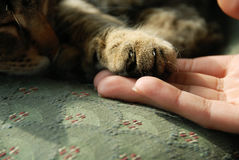 Patte de chat sur la main humaine Image stock