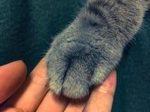 Patte de chats dans la main du ` s des hommes Photo stock
