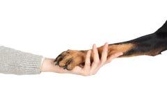 Patte de chien de Beauceron dans le concept humain d'amitié de main Photos stock