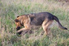 Patte de creusement de chien photos libres de droits