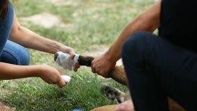 Patte de emballage humaine de chien blessé avec le bandage de gaze banque de vidéos