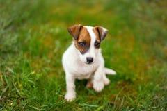 Patte de levage de petit terrier junior de Jack Russell dans l'herbe photographie stock libre de droits