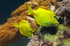Patte jaune Photographie stock libre de droits