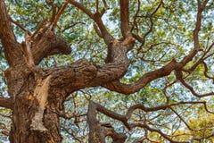 Patten of branch Big Samanea saman tree Stock Image