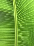Patter of banana leaf with water drops Royalty Free Stock Image