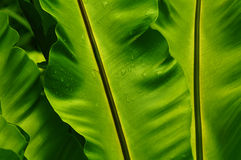 Green Leaves. Close-up of banana leaves pattern stock photography