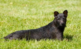 Patterdale Terrier, der in das Gras legt Stockfoto