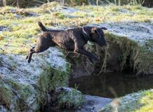 Patterdale Terrier stock images