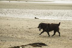 Patterdale terrier on the beach. Patterdale terrier playing with a large stone on the beach Royalty Free Stock Photography