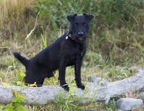 Patterdale Terrier stock image