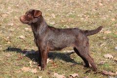 Patterdale Terrier /Wire/ im Park Lizenzfreie Stockbilder