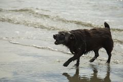 A patterdale terrior barking on the beach. A patterdale terrior playing on a beach and barking Stock Image