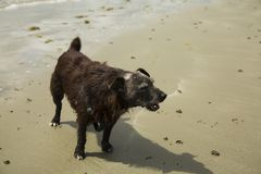 Patterdale terrier on the beach. A patterdale terrior playing on the beach Royalty Free Stock Images
