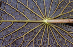 Pattern on the back of the leaf Stock Photography