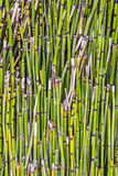 Pattern of bamboo plant Stock Photography