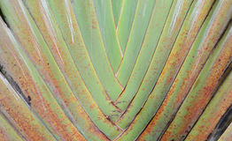 Pattern of banana branch and stalk. Pattern of banana leaf and stalk in fan shape Stock Image