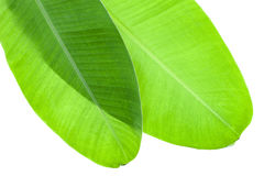 pattern of banana leaf for background and design. Royalty Free Stock Photo