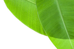 pattern of banana leaf for background and design. Stock Image