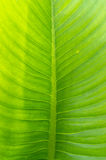 Pattern of banana leaves. Royalty Free Stock Images