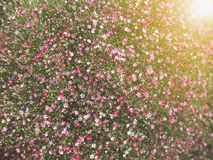 Pattern of beautiful small pink flower under sun light Gypsophi Stock Photography